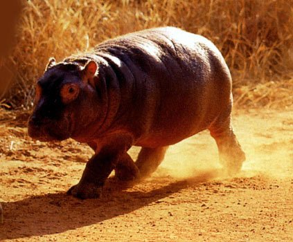 photograph of  a baby hippopotamus